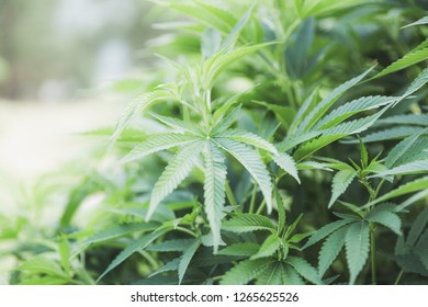 Green marijuana/hemp plant leaves absorbing sunlight at a commercial cannabis farm in Oregon.
