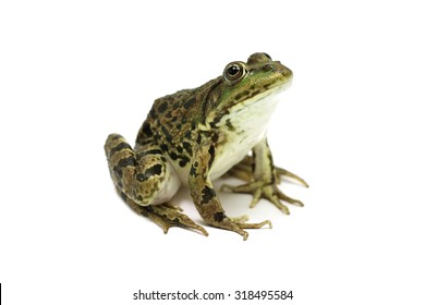 green marsh frog on a white background