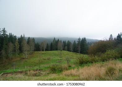 Eine grüne Wiese in einem Nadelwald