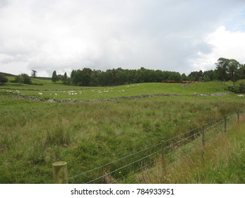 A green meadow with  flocks and cattle in Scotland on a cloudy day shortly before it starts raining
