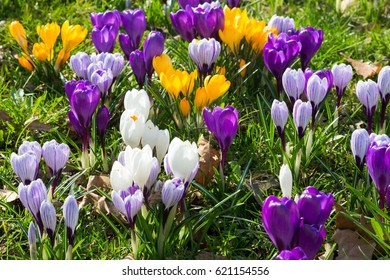 Green meadow full of violet, yellow, white crocuses, Crocus sativus, in sunny spring day. Horizontal full frame crop