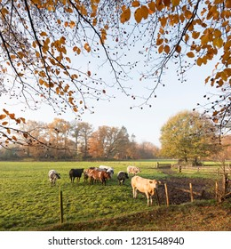 green meadow with meat cows in morning autumn landscape in province of utrecht in the netherlands