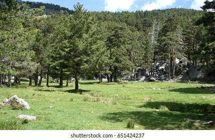 Green meadow of pines in Picos de Urbión, Soria Spain,