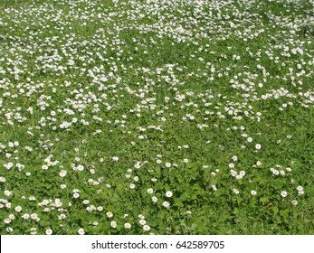 Green meadow with wild daisy flowers