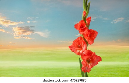 green meadow wit gladiola flowers