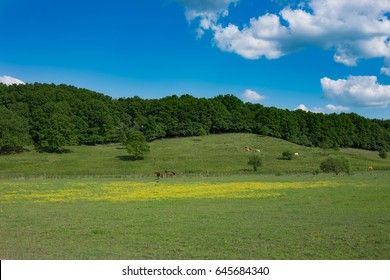 green meadow with yellow wild flowers and horses and cows and forest in background and blue sky, Europe, Hungary / agriculture and countryside - spring