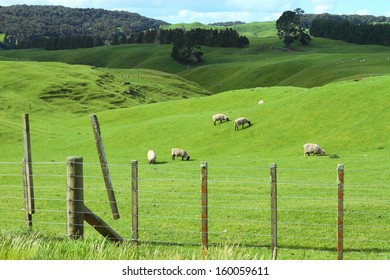 Green meadows with sheep grazing in a beautiful area of Rotorua, New Zealand