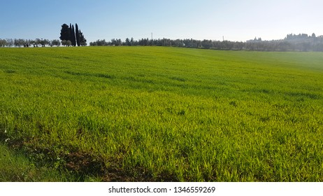 Green meadows in spring with cypresses and olive trees, Tuscan countryside, Italy