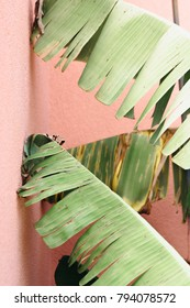 Green Mediterranean plant against pink wall