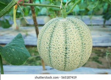 Green melon vertical gardening.