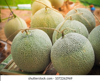 Green melons or Japaneses cantaloupe melons plant growing in the farm. Thailand