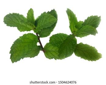 Green mint leaf on white background