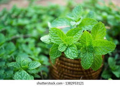 Green mint leaves on basket in plant garden.