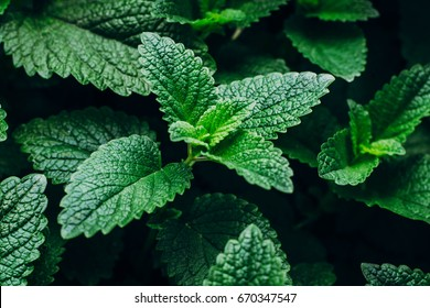 Green Mint Plant Grow Background. Menthol Texture