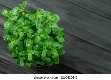 Green mint plant grow in a pot on wooden background shallow depth of field, soft focus