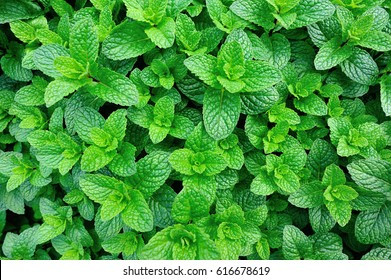 green mint plant in growth at vegetable garden