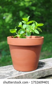 Green mint plant  in terra cotta pot growing in the outdoors with tree leaves background
