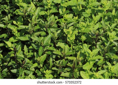 green mint texture as nice spring background
