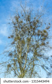 Green mistletoe on a tree without leaves. Plant parasite in the winter. The tree struck with a mistletoe, Víscum.