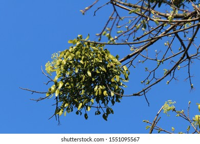 Green mistletoe  (Viscum album) on a tree