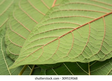 Green Mitragyna speciosa leaf for medical treatment or therapy with texture