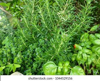 green mixed herbs in my garden, rosemary, basil, thyme, etc.