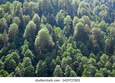 green and mixed Picea orientalis, Carpinus (Hornbeam), Ulmus (Elm) trees together in ayder plateau rize province turkey