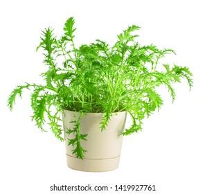 Green mizuna in pot, isolated on white