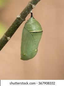 Green monarch butterfly chrysalis with a gold and black band hanging from a green milkweed branch against a peach colored background