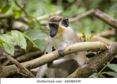 Green Monkey of Barbados. Monkeys were introduced into Barbados centuries ago but they are considered evolved enough to be called a separate species. They are small and cute but very wild.
