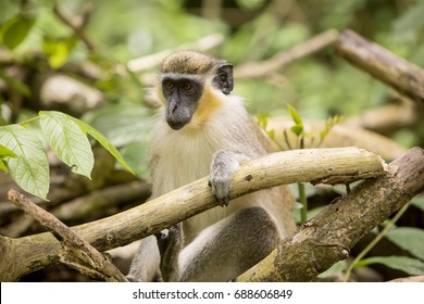 Green Monkey. The green monkeys found in Barbados originally came from Senegal and the Gambia centuries ago. Since then the monkeys have evolved into a species with different characteristics.