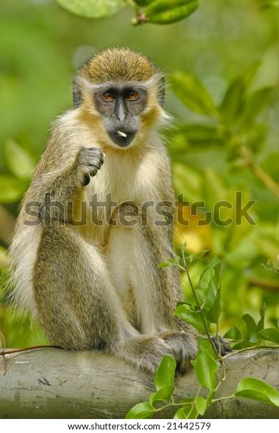 Green Monkey in the wild habitat, cercopithecus sabaeus