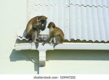 Green monkeys eating egg on roof