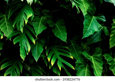 green monstera leaf background, tropical leaf, abstract green leaf texture