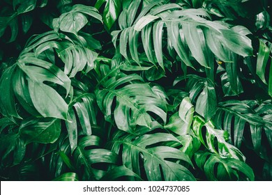 Green Monstera Leaves aka Swiss Cheese Plant or Monstera Deliciosa in Dark Tone. Tropical Jungle Pine Green Foliage Background or Pattern for Creative Design Elements. Texture of Philodendron monstera