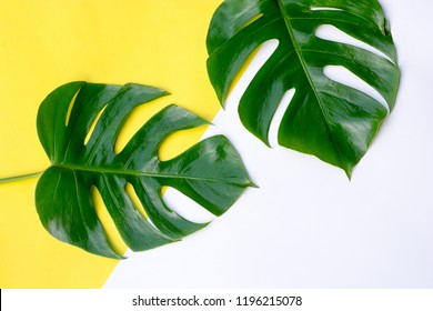 Green monstera leaves on white and yellow background with copy space. Tropical concept.