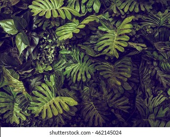 Green Monstera leaves texture for background - top view - in dark tone.