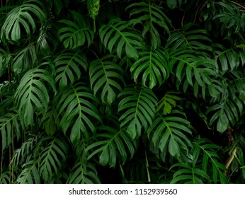 Green monstera philodendron tropical plant leaves vine background
