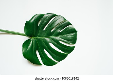 Green monstera tropical leaf on white background.