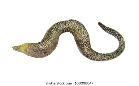 Green moray eel fish isolated on white background