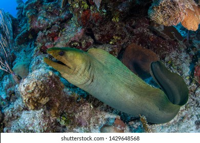 A Green moray eel, Gymnothorax funebris, hunts for prey in the Caribbean Sea off the coast of Belize. This area is part of the Mesoamerican Barrier Reef, the second largest reef system on Earth.