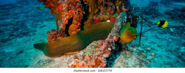 Green Moray Eel laying on the deck of the USCG Duane in Key Largo, Florida