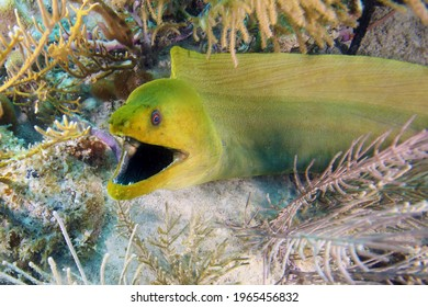 The green moray (Gymnothorax funebris) in plants at the bottom of the sea. Green moray eel with open mouth. Portrait of a large moray eel.