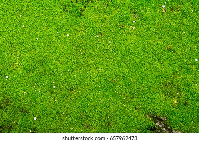 Green mos background, Moss on cement floor.