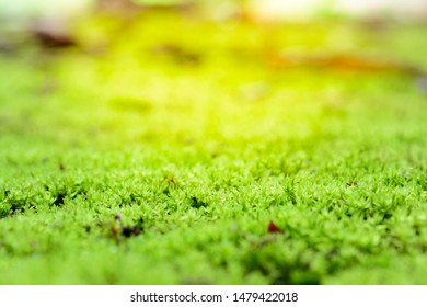 Green mos in forest background. Nature and outdoor background
