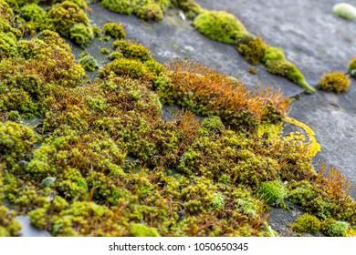 Green moss and algae on slate roof tiles
