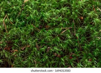 Green moss background blurred macro photo