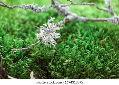 Green moss background and branch with  lichen