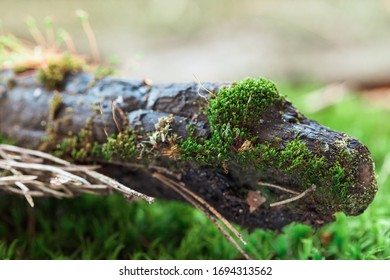 Green moss background and charred wooden branch