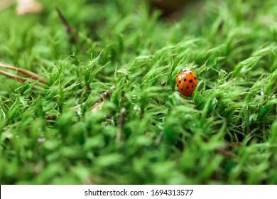 Green moss background and ladybug